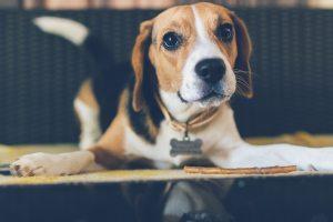 animal-background-beagle-879788